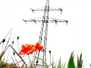 poppy-174702_640